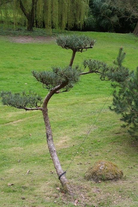 Niwaki la taille en nuage - Tailler un olivier en nuage ...