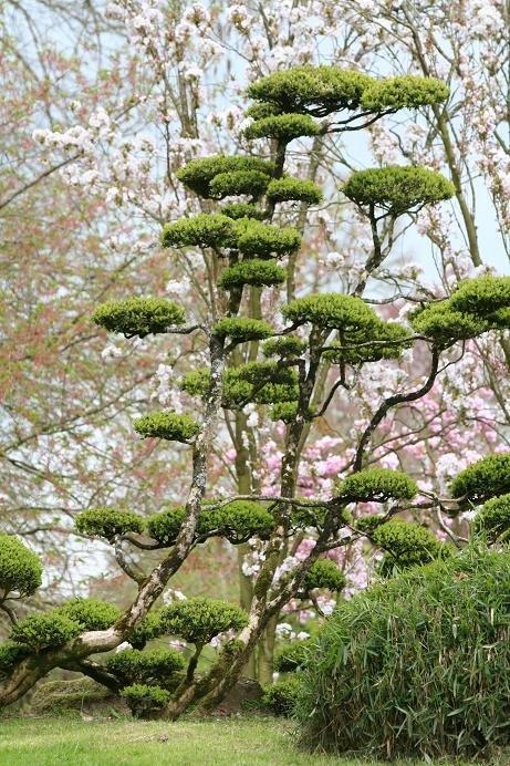 Cr ation d un nuage niwaki - Comment tailler un olivier en nuage ...